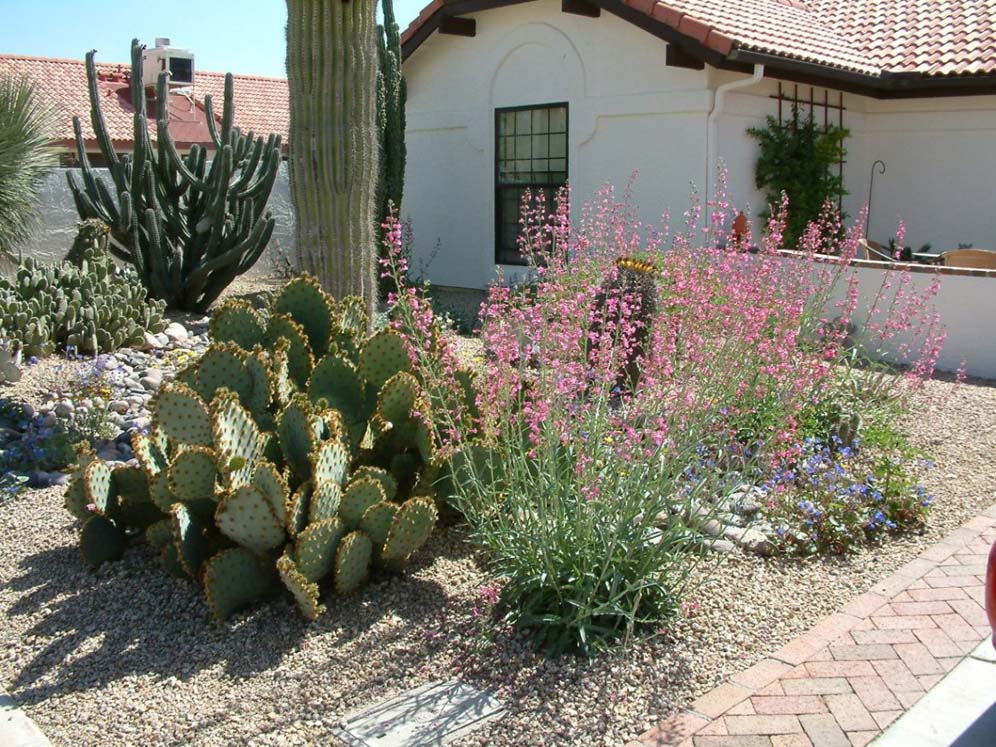 Cactus and Pink Penstemons in Front Yard