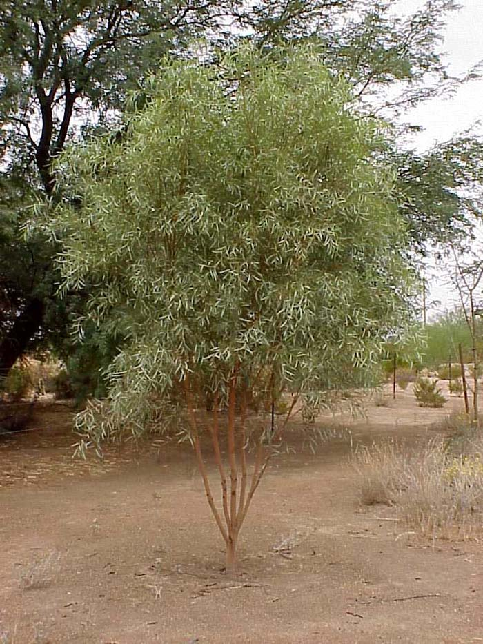 Plant photo of: Acacia jennerae
