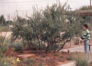 Catclaw Acacia, Devil's Claw